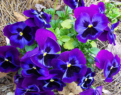 Art Print featuring the photograph Purple Pansies by Sandi OReilly
