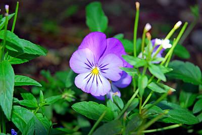 Photograph - Purple Pansy Amongst Greens by Robert Meyers-Lussier