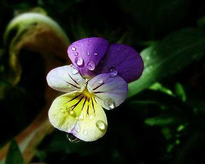 Photograph - Purple Pansy by Anthony Jones