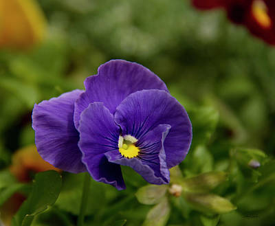 Photograph - Purple Pansy by Debby Richards