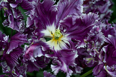 Photograph - Purple Parrot Tulips Of Keukenhof by Jenny Rainbow