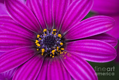 Photograph - Purple Passion by Andrea Silies
