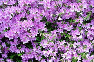 Photograph - Purple Passion by Deborah  Crew-Johnson