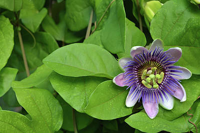 Photograph - Purple Passion Floral by Aimee L Maher Photography and Art Visit ALMGallerydotcom