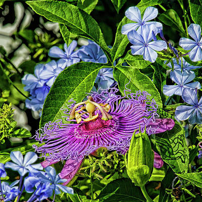 Photograph - Purple Passion Flower And Plumbago by HH Photography of Florida