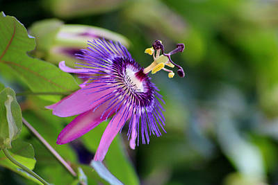 Photograph - Purple Passion Flower by Living Color Photography Lorraine Lynch