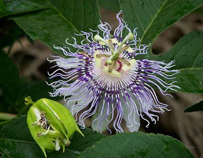 Thomas Kinkade - Purple Passion Flower by rd Erickson