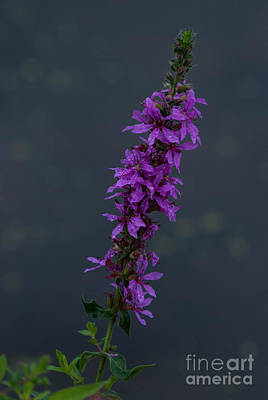 Photograph - Purple Passion by Grace Grogan