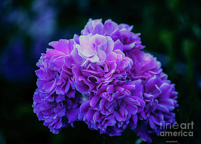 Photograph - Purple Perfection Floral by Roberta Byram