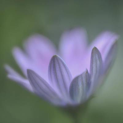 Photograph - Purple Petals by Jacqui Boonstra