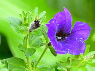 Photograph - Purple Petunia by Betty-Anne McDonald