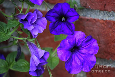 Photograph - Purple Petunias by Karen Adams