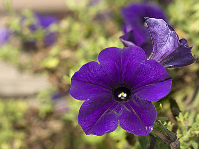 Photograph - Purple Petunias by Kathryn Whitaker