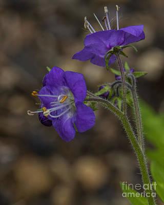 Photograph - Purple Phalcelia by Barbara Bowen