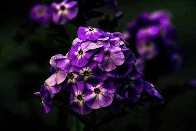 Photograph - Purple Phlox by Sherman Perry