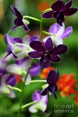 Photograph - Purple Picotee Orchid by Angela Rath