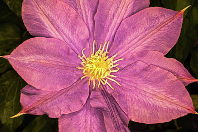 Photograph - Purple Pink Clematis by Douglas Barnett