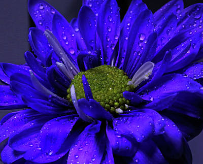 Photograph - Purple Pizzazz by Judy Vincent