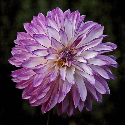 Photograph - Purple Pom Pom by Patricia Strand