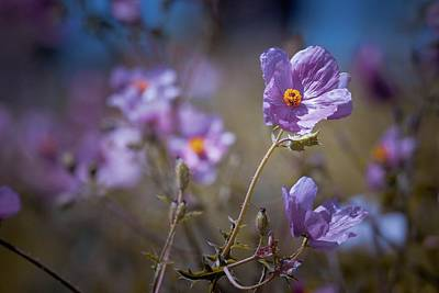 Photograph - Purple Poppies by Linda Unger