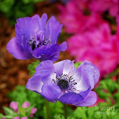 Purple Flowers Digital Art - Purple Poppies by Nancy Mueller