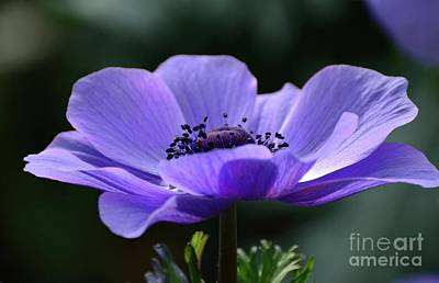 Photograph - Purple Poppy Mona Lisa by Cindy Manero