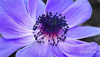 Photograph - Purple Poppy by Sharon Woerner