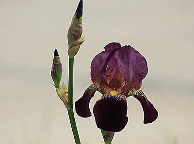 Photograph - Purple Powerful Iris by Karen McKenzie McAdoo