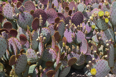 Photograph - Purple Prickly Pear 2 by Aimee L Maher ALM GALLERY