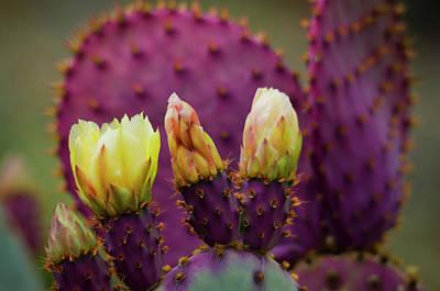 Photograph - Purple Prickly Pear Cactus by Saija Lehtonen