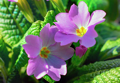 Photograph - Purple Primroses by Nina Ficur Feenan