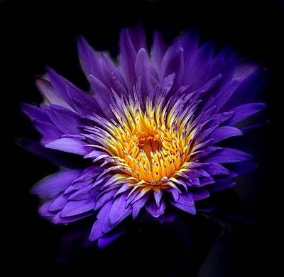 Photograph - Purple Reign by Jessica Jenney