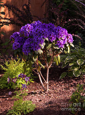 Photograph - Purple Rhododendron 'abe Arnott' by Louise Magno
