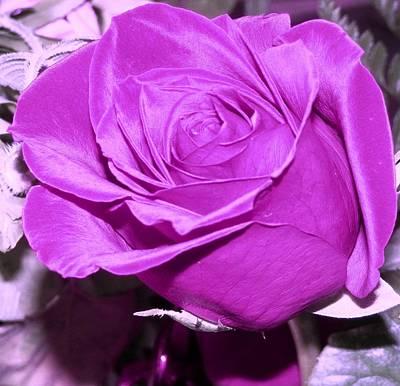 Photograph - Neon Purple Rose by Belinda Lee