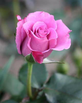 Photograph - Purple Rose by Captain Debbie Ritter