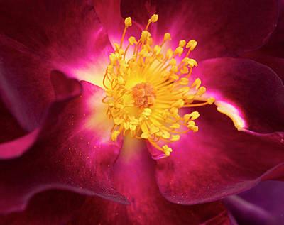 Purple Rose Closeup Art Print