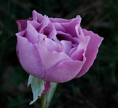 Purple Rose II Print by Sandy Keeton