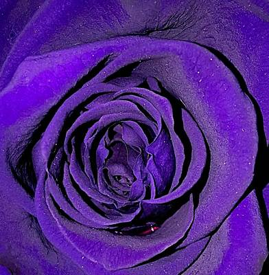 Photograph - Purple Rose by Lali Partsvania