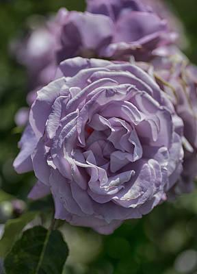 Photograph - Purple Rose by Patricia Dennis