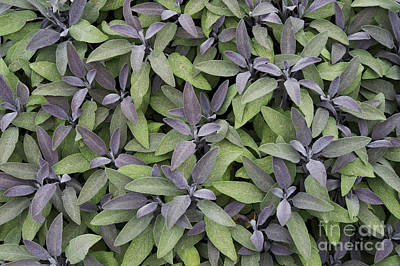 Salvia Photograph - Purple Sage by Tim Gainey