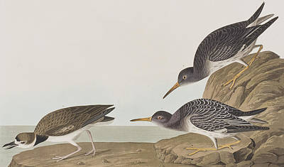 Sandpiper Painting - Purple Sandpiper by John James Audubon