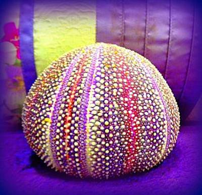 Photograph - Purple Sea Urchin by VIVA Anderson