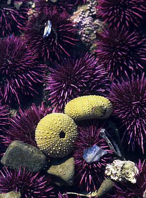 Photograph - Purple Sea Urchins by Robert Potts