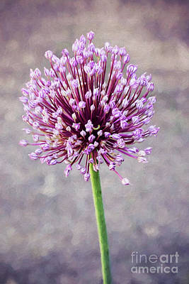 Photograph - Purple Sensation by Sharon McConnell