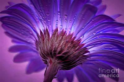 Daisy Photograph - Purple Serenity by Krissy Katsimbras