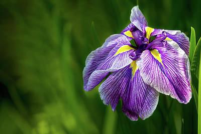 Summer Photograph - Purple Siberian Iris Flower Closeup by David Gn
