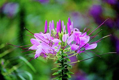 Photograph - Purple Spider Flower by Cynthia Guinn