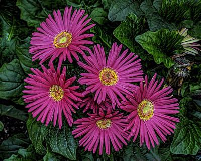 Photograph - Pink Spring Beauty by Nick Zelinsky
