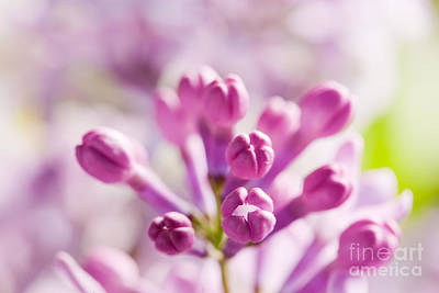Gardening Photograph - Purple Spring Lilac Flowers Blooming Close-up by Michal Bednarek