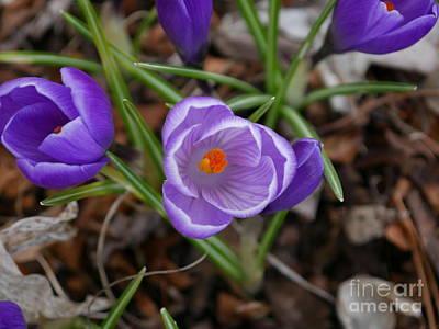 Photograph - Purple Spring by Nancie DeMellia